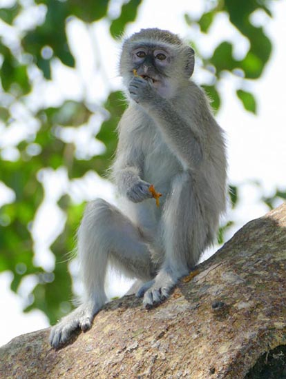 Vervet monkey, Chobe National Park, Botswana