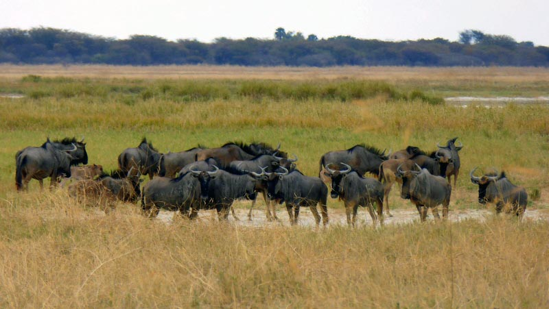 Wildebeest at the water hole, Nata Bird Sanctuary, Botswana