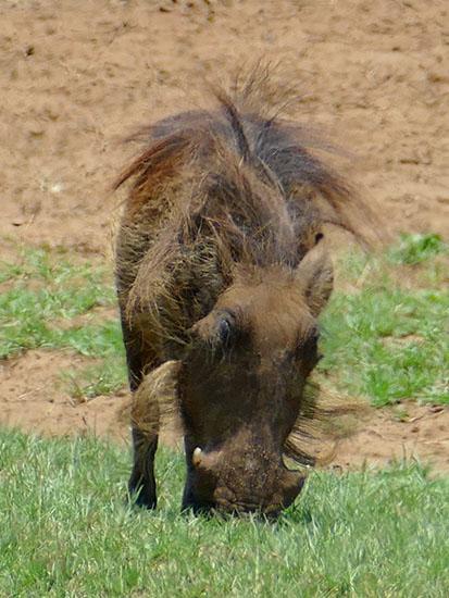 Hairy warthog, Mahango, Bwabwata National Park, Namibia