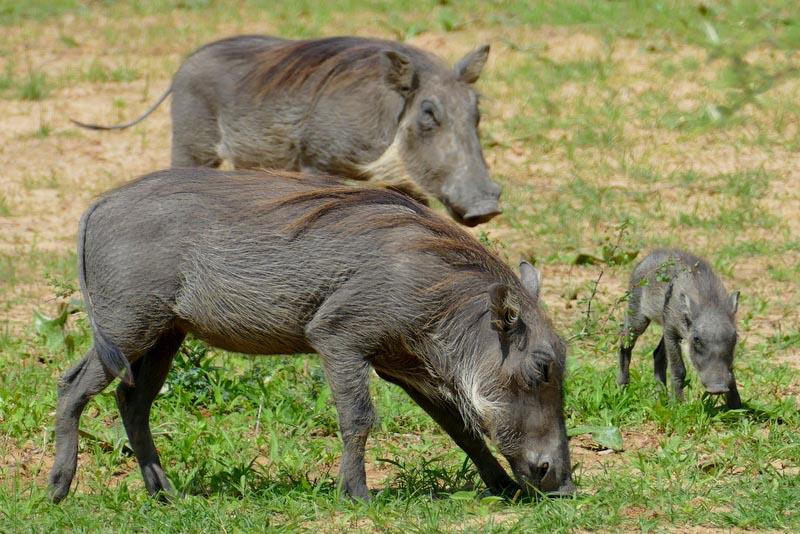 Hairy warthog family, Mahango, Bwabwata National Park, Namibia