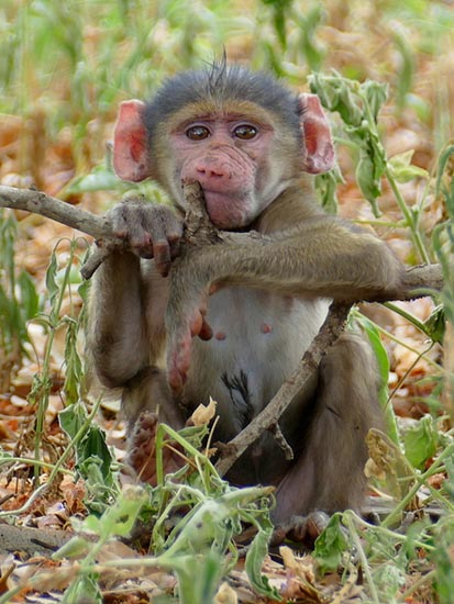 Baboon baby, Africa