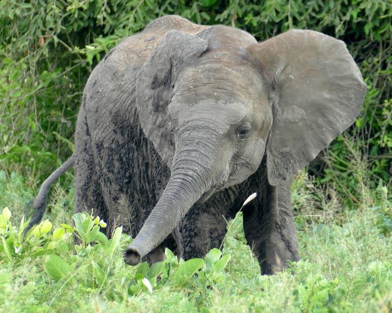 Elephant calf, Africa