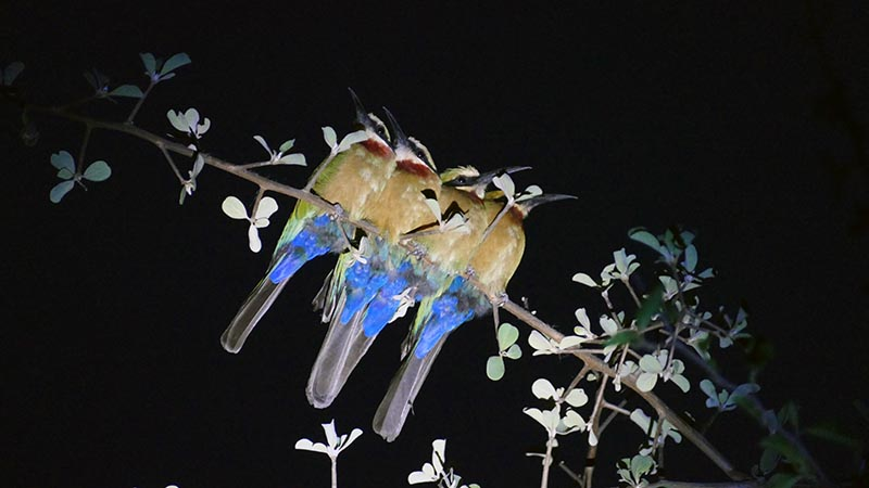 Four white-fronted bee-eaters perched at night, Namibia