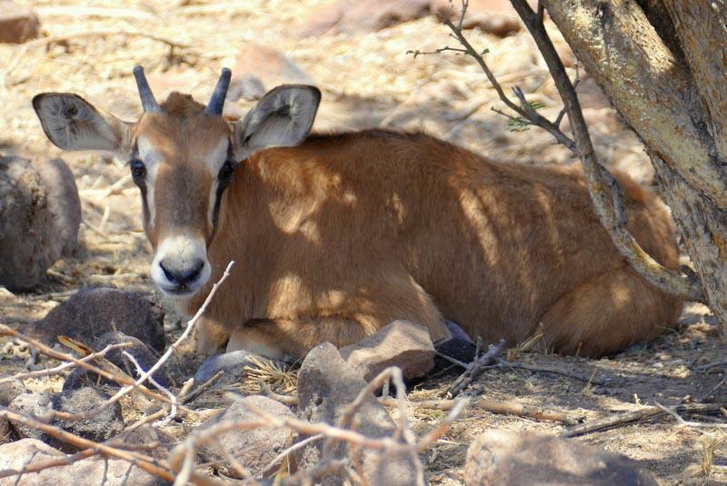 Gemsbok baby, Africa