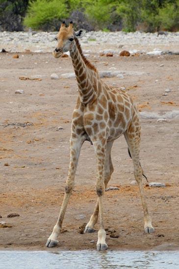 Giraffe calf, Africa