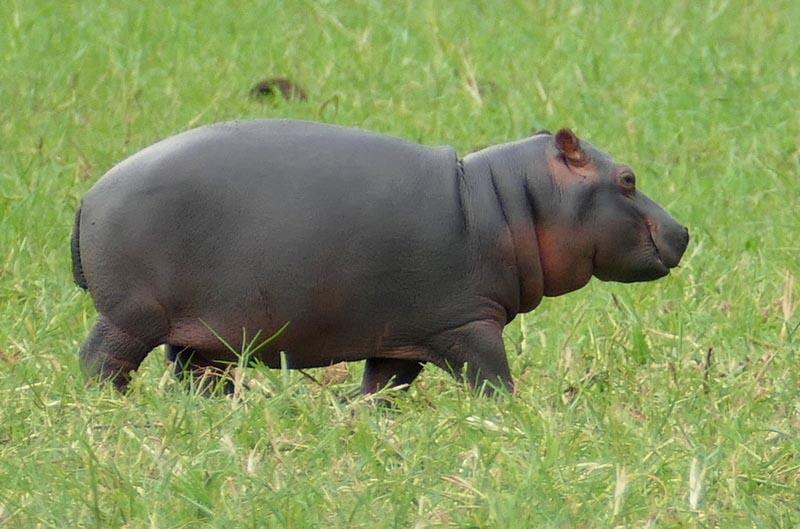 Hippo baby, Africa