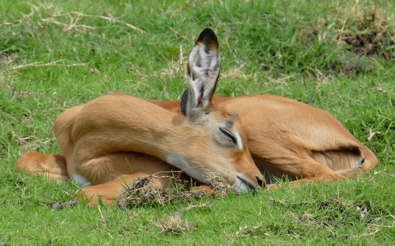 Impala baby, Africa