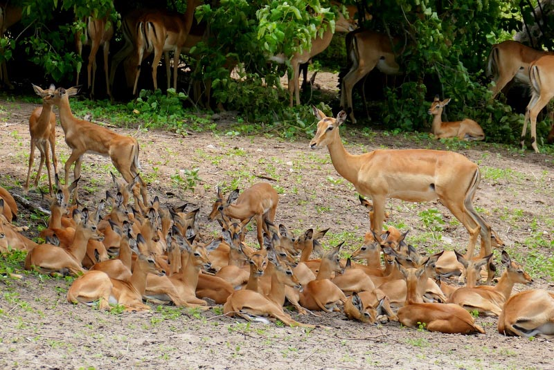 Impala creche, Chobe National Park, Botswana