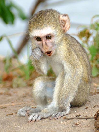 Vervet monkey baby, Africa