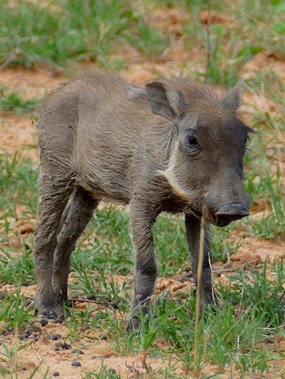 Warthog piglet, Africa