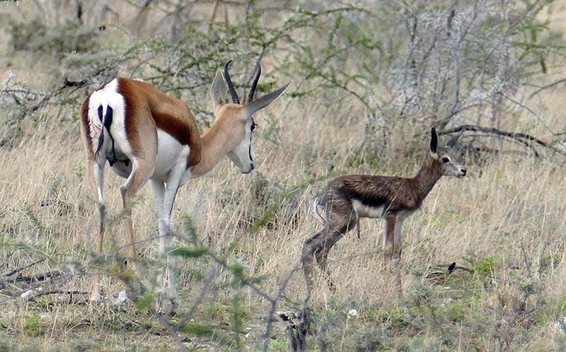 Newborn springbok, Okaukuejo, Etosha National Park, Namibia