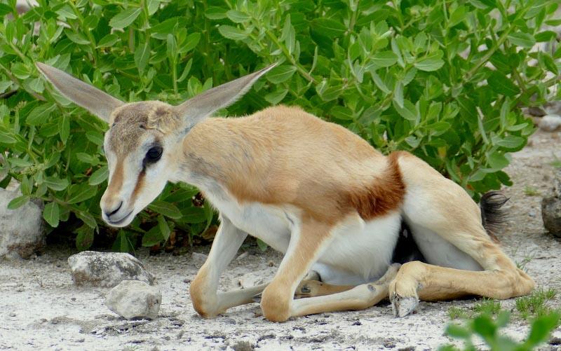 Springbok lamb or fawn, Africa