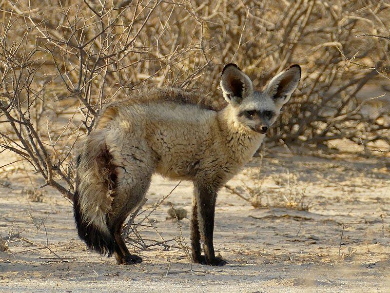 Bat-eared fox, Kgalagadi Transfrontier Park, photo by Mike Weber