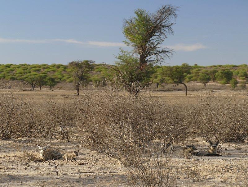 Bat-eared fox family, Kgalagadi Transfrontier Park, photo by Mike Weber