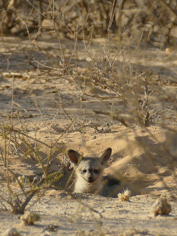 Bat-eared fox kit in den, Kgalagadi Transfrontier Park, photo by Mike Weber