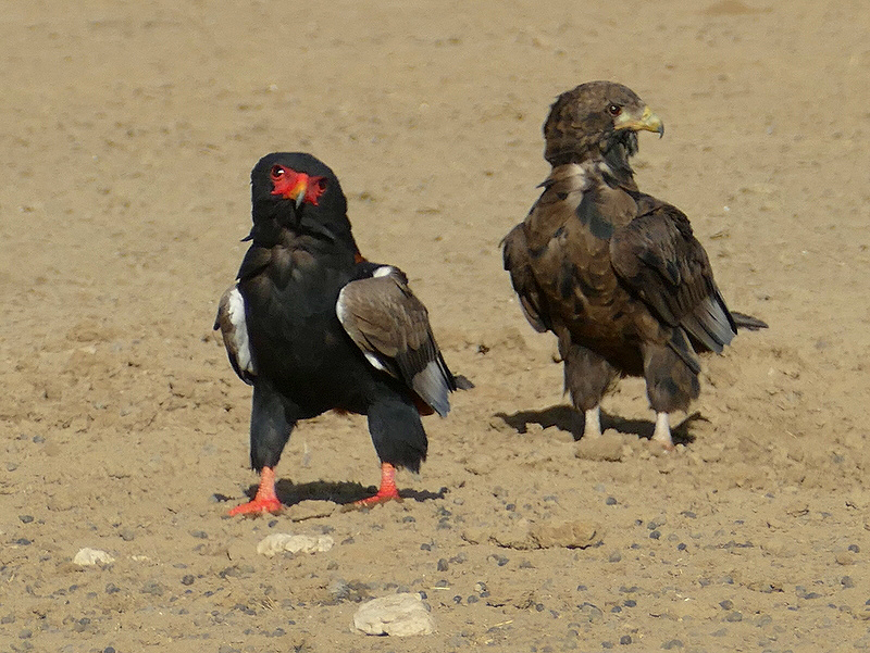 Bateleur adult and young, Kgalagadi Transfrontier Park, photo by Mike Weber