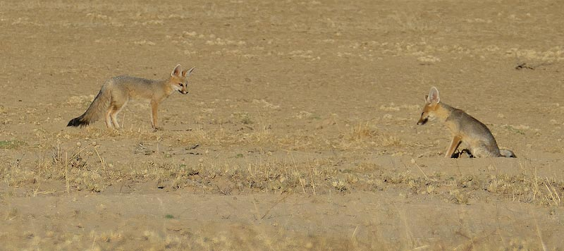 Cape foxes, Kgalagadi Transfrontier Park, photo by Mike Weber