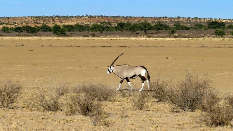 Gemsbok, Kgalagadi Transfrontier Park, photo by Mike Weber