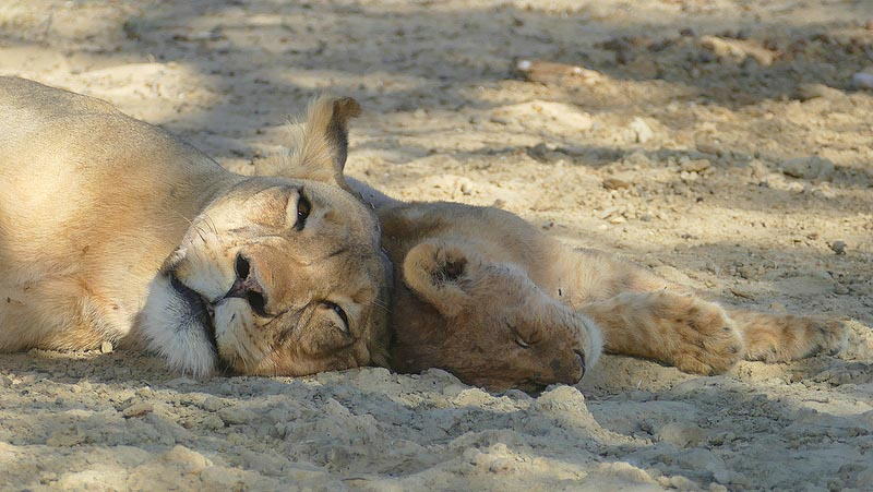Lioness with cub, sleeping, Kgalagadi Transfrontier Park, photo by Mike Weber