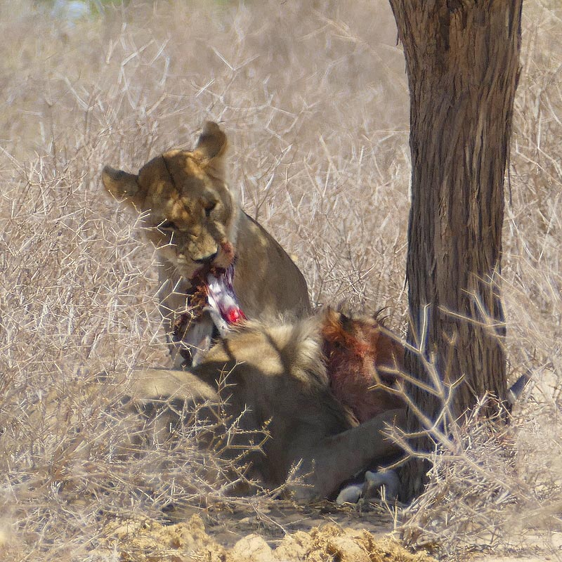 Lions eating a gemsbok, Kgalagadi Transfrontier Park, photo by Mike Weber