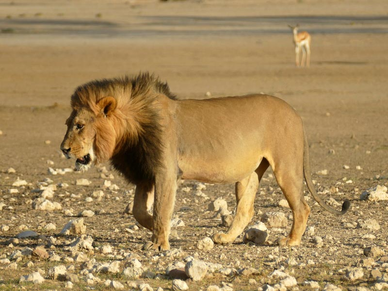 Male lion, Kgalagadi Transfrontier Park, photo by Mike Weber