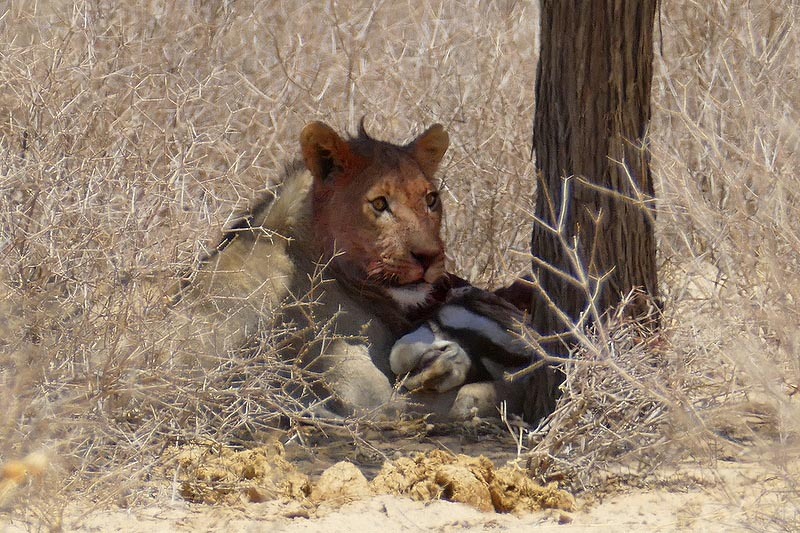 Young male lion eating gemsbok, Kgalagadi Transfrontier Park, photo by Mike Weber