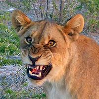 Lion laugh